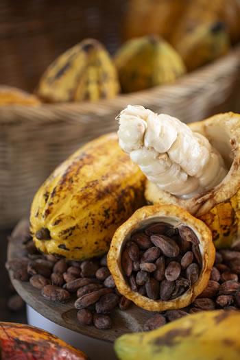 Owoce i nasiona kakaowca